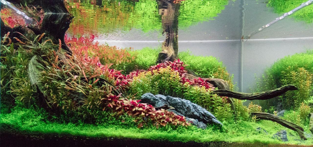 Những cây thủy sinh cắt cắm nên được trồng gần nhau để phát triển thành cụm