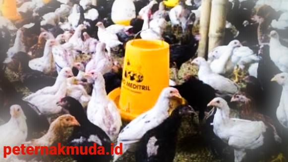 Sukses ternak Ayam Jowo Super
