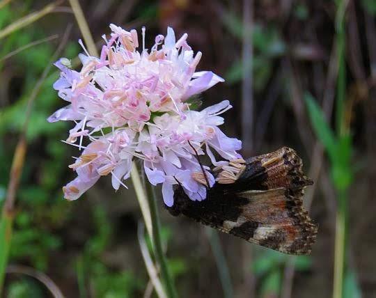 Świerzbnica polna (Knautia arvensis).