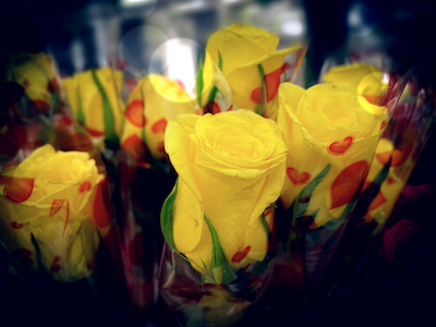 Yellow roses close up stock image