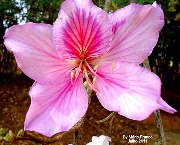 árvore com Flor cor de rosa