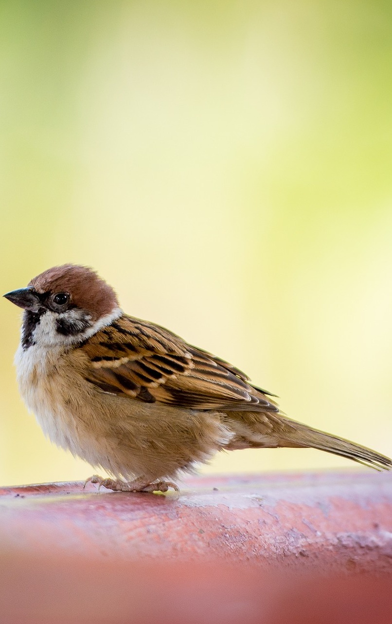 Portrait photo of a sparrow.