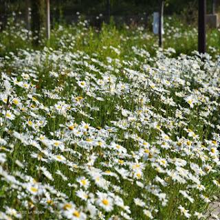 Leucanthemum maximum (margaritón) y sus formas hortícolas cultivadas en jardines