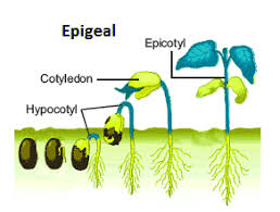 Perkecambahan epigeal