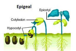 Jenis-Jenis Perkecambahan Pada Tumbuhan