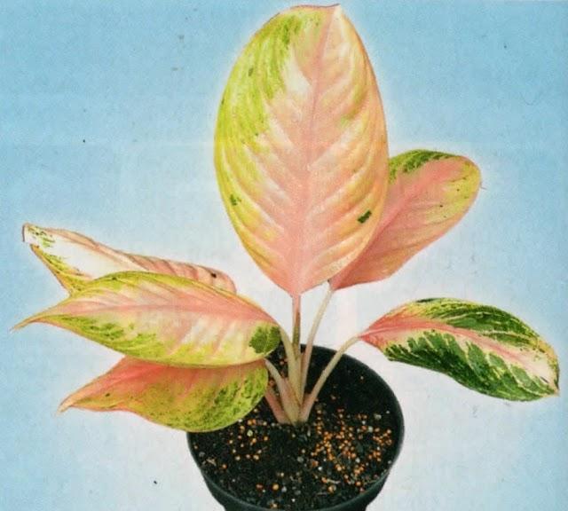 Aglaonema Hybrid Nan Cantik Sebagai Penghias Teras Rumah