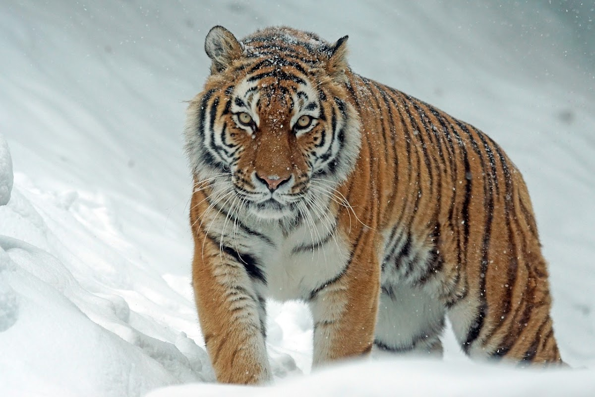 Download Wallpaper tiger is in the snow
