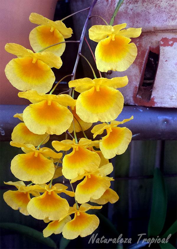 Floración de una especie del género Dendrobium. Orquídea purificadora.