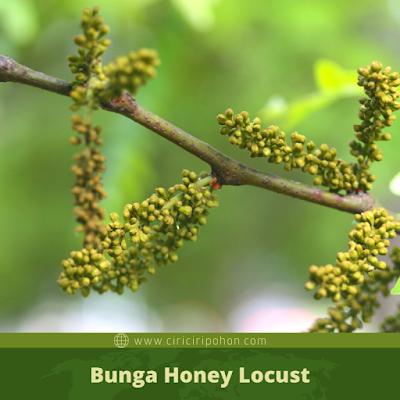 Ciri Ciri Bunga Honey Locust