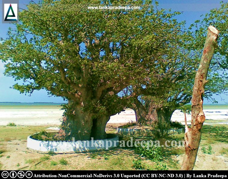More Baobab trees in Mannar