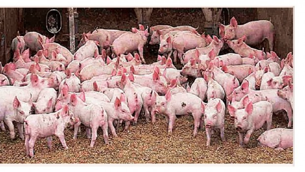 piggery business plan in nigeria now