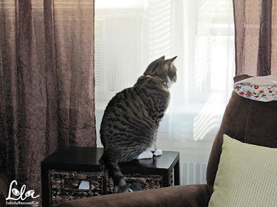 tabby cat looking out the window
