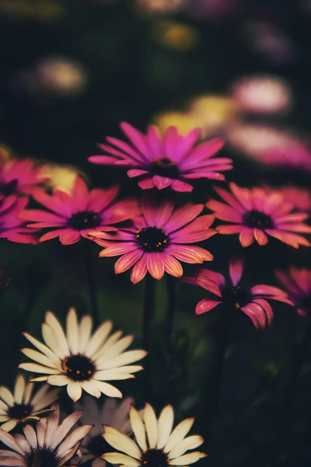 أفضل خلفيات الورود والورد للأندرويد