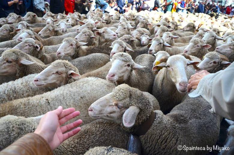 Fiesta de la Trashumancia Madrid  手が届きそうなくらい近い移動中の羊たち