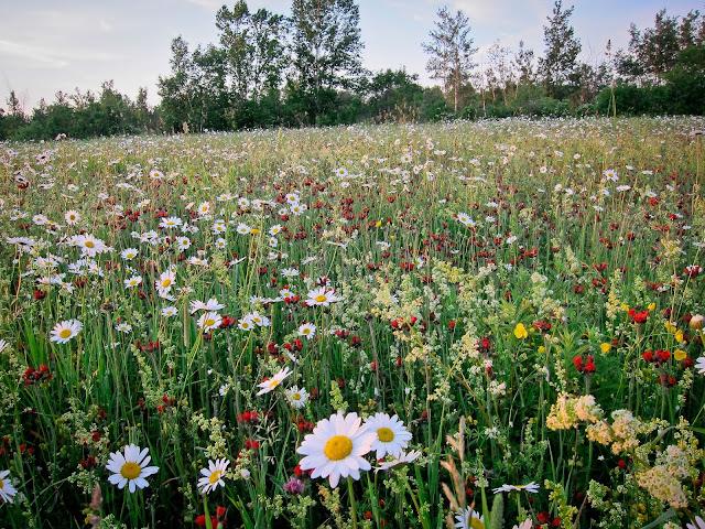 sauvages,fleurs,flore,bouquet,faire,photo-emmanuelle-ricard