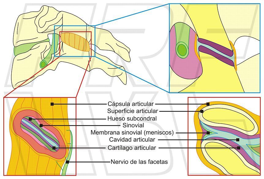 Fisioimágenes: Un recuerdo visual del nivel cervical