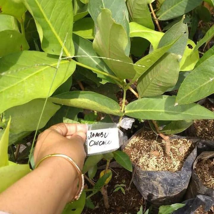 Bibit jambu air cincalo merah hasil okulasi siap berbuah Aceh