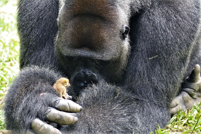 24-Year-Old Dominant Gorilla Met A Tiny Creature In The Forest, And A Heartwarming Moment Followed