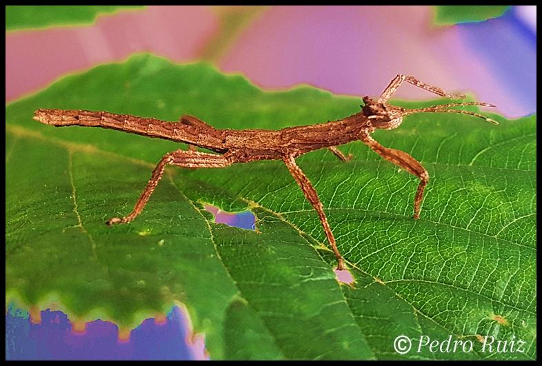 "Ninfa macho L3 de Hesperophasma sp. ""La Cienaga"", 2,5 cm de longitud"