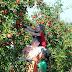 APPLY NOW _Fruit Picking Jobs In Australia