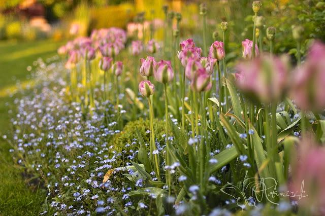 Kwiecień - miesiąc tulipanów
