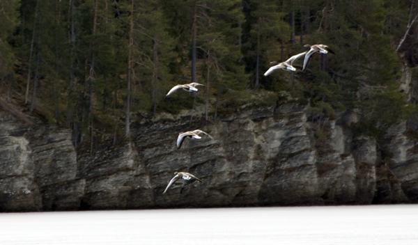 fugler i flukt