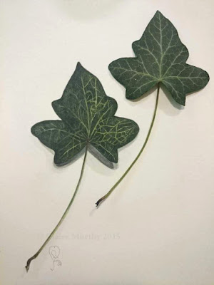 Botanical watercolours for wildlife. Watercolour ivy leaf. Watercolour Art Blog.