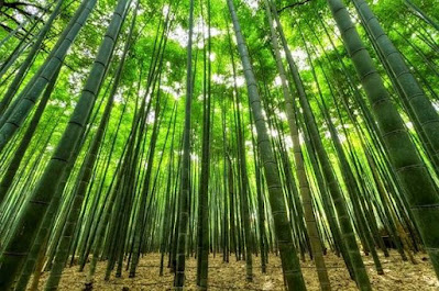 filosofi dari pohon bambu