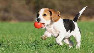 Puppy Training Perth Based Solutions, Dog Obedience and Training