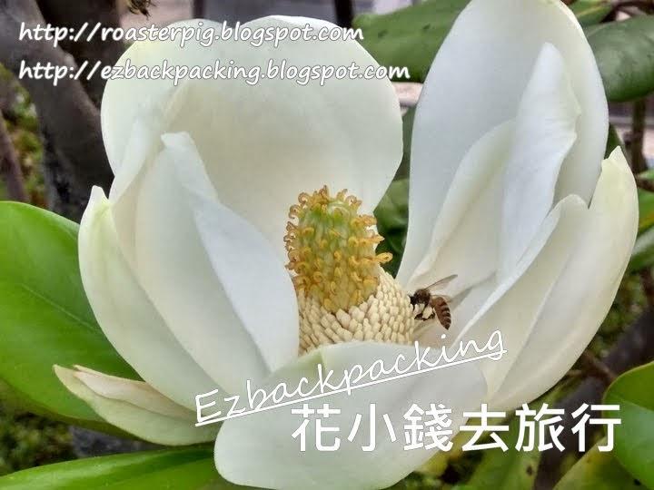 荔枝角公園 荷花玉蘭