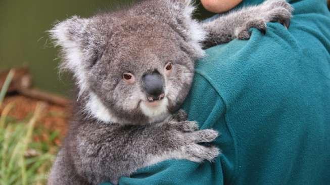 Hanya Gegara Koala, Koalisi Politik di New South Wales Alami Perpecahan