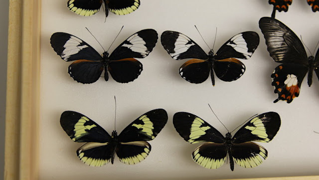 A single genetic switch changes butterfly wing colour
