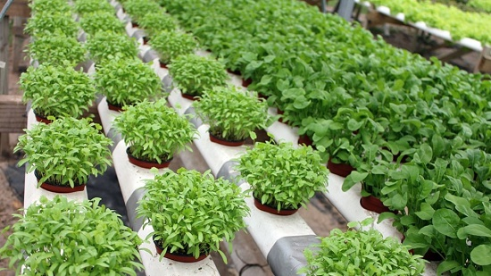 Cara Membuat Nutrisi Organik Tanaman Hidroponik