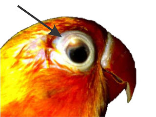 lovebird sakit mata, lovebird snot, snot pada lovebird, lovebird sakit snot