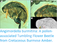 https://sciencythoughts.blogspot.com/2019/12/angimordella-burmitina-pollen.html