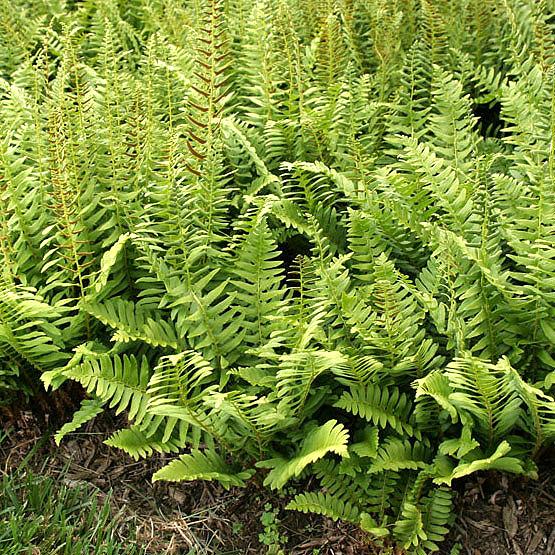 Greenzone Landscape Design My Favorite Hardy Perennial