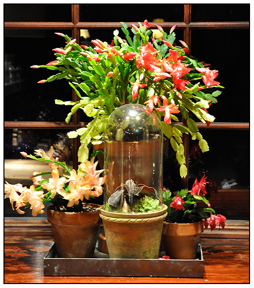When Do Christmas Cactus Bloom.Growing With Plants How To Get A Christmas Cactus To Bloom
