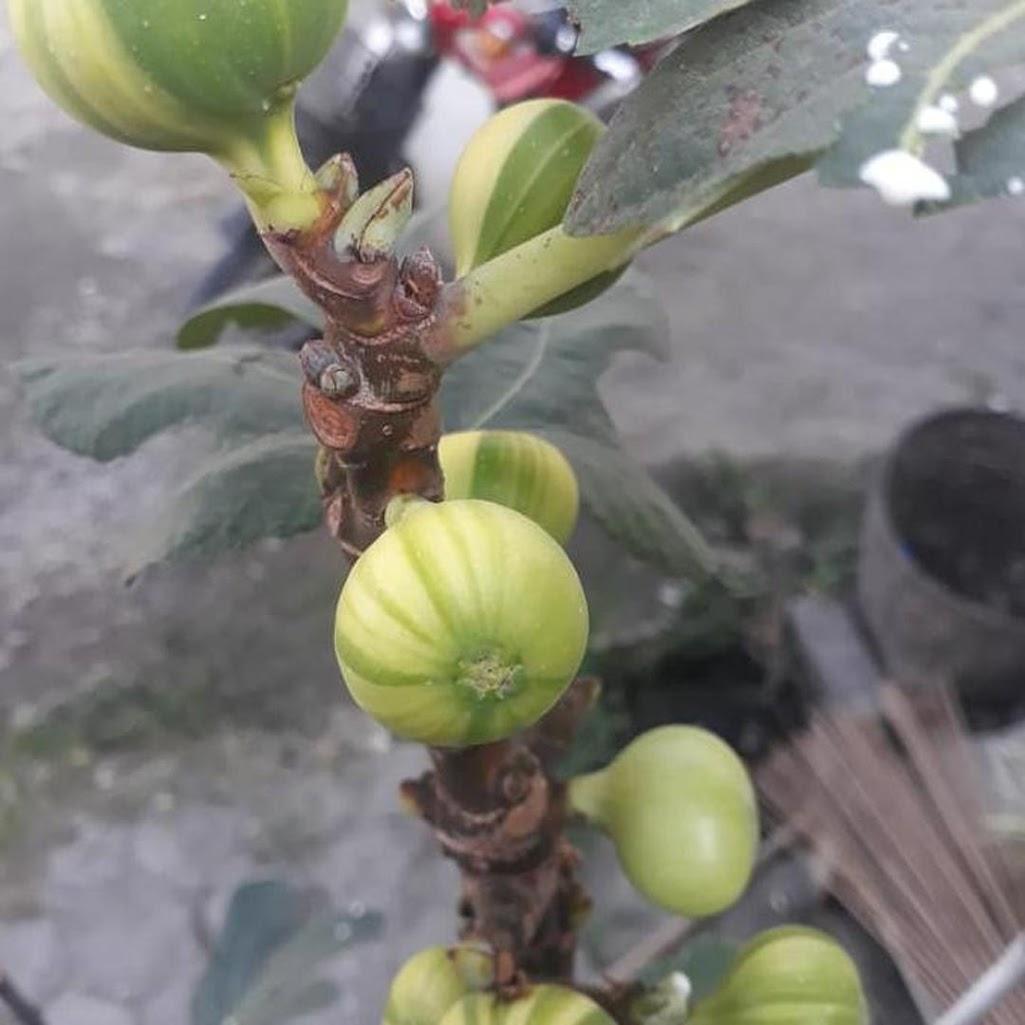 bibit buah Bibit Cuttingan bahan stek buah tin panache tiger belang tanaman hidup Tangerang