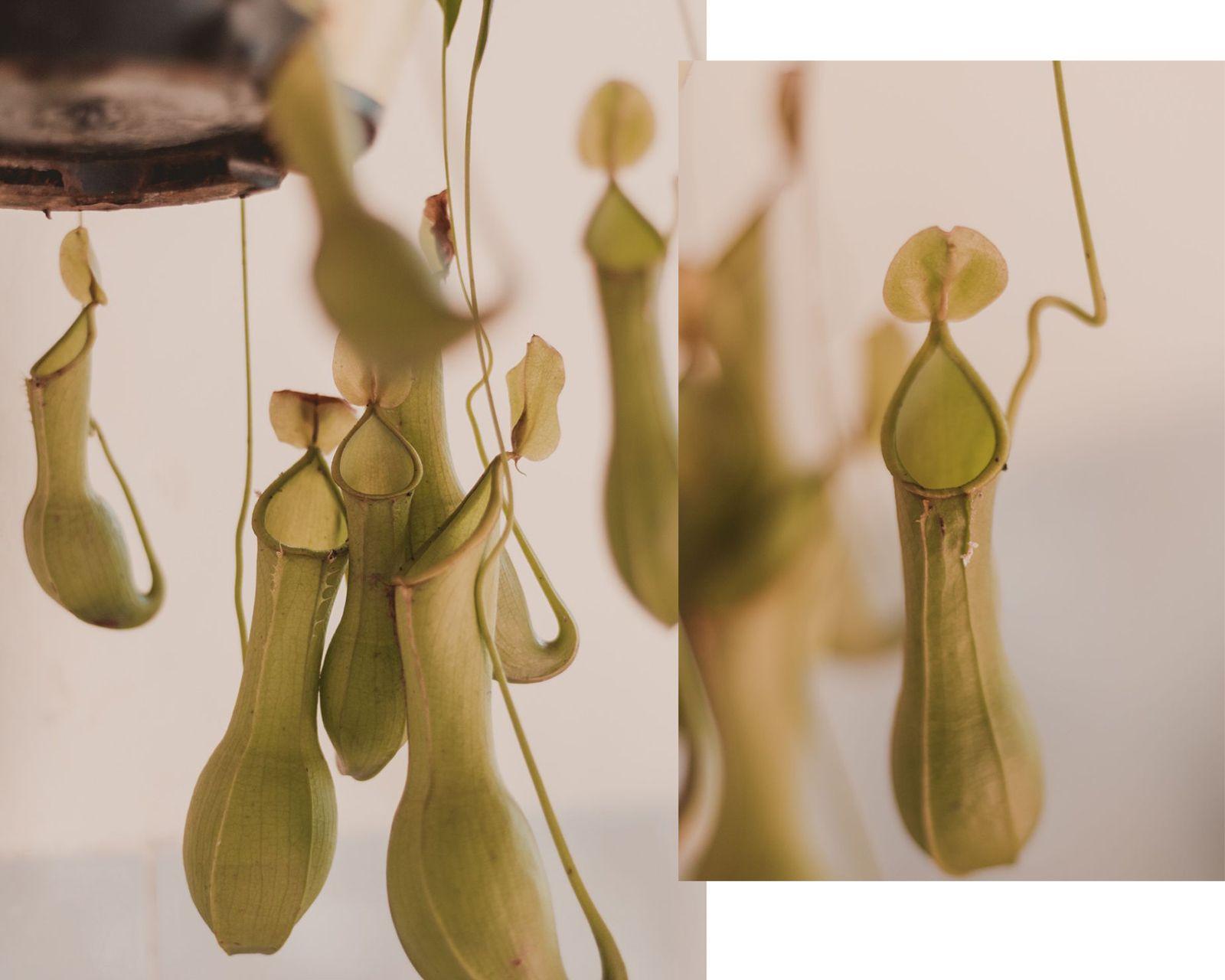 Adoradores de plantas | Houseplant jungle carnívoras