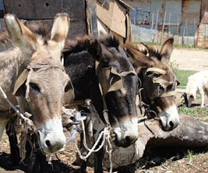 Local Donkeys