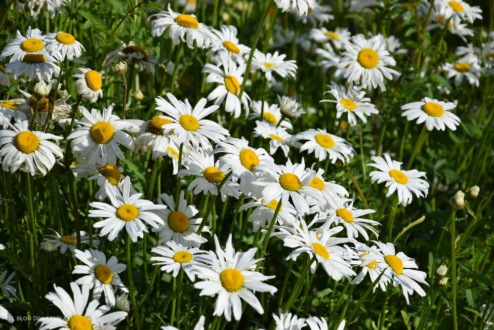 margarita grande de flores blancas