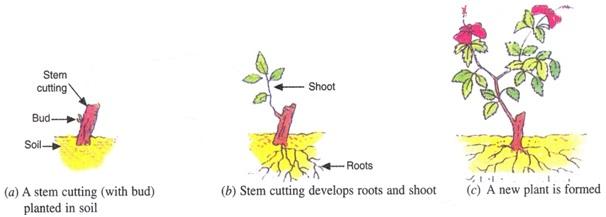 लेयरिंग विधि द्वारा चमेली के पौधे का प्रवर्धन