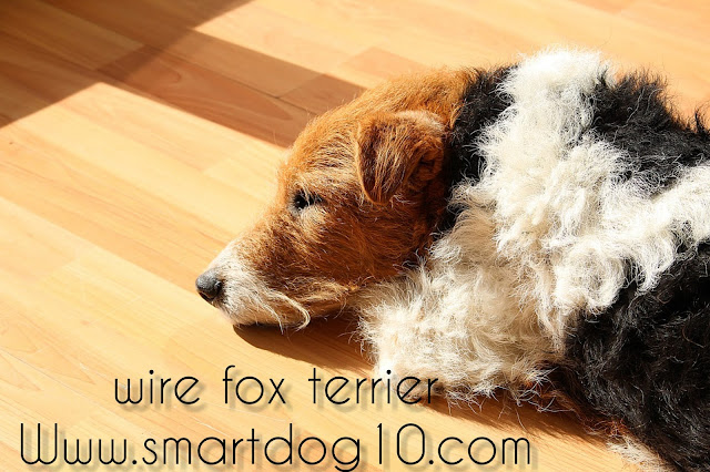 wire haired fox terriers for adoption