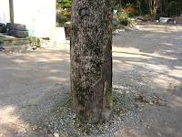 立ち枯れた楠の幹
