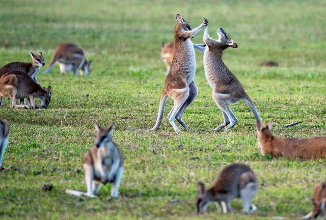 Canguros australia