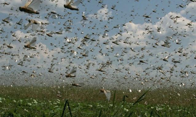 Nuvens de gafanhotos soldados atacam o Sul do Brasil