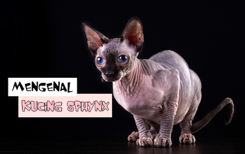 Kucing Sphynx Gundul
