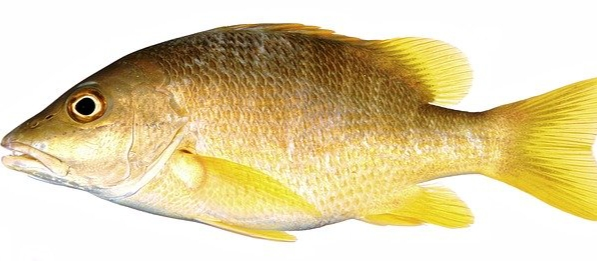 Ikan kakap sirip kuning