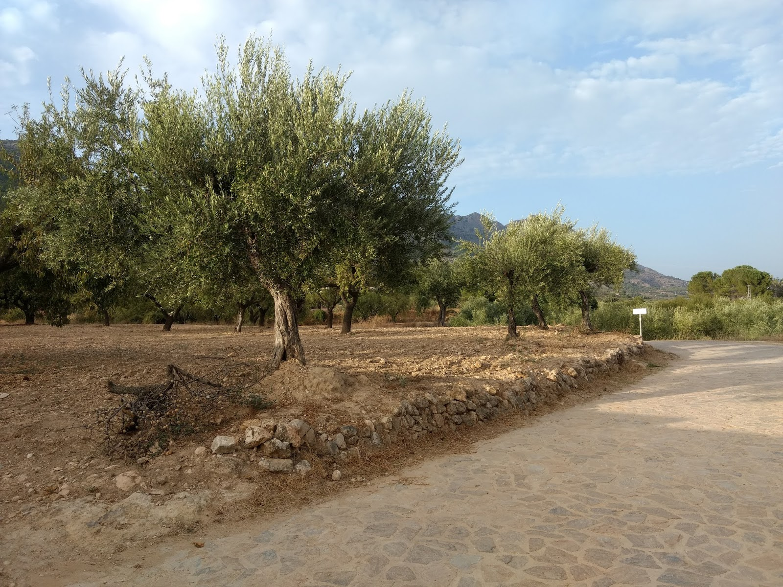 Olive trees on Serpis Greenway, Alicante, Spain