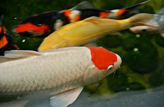 Jenis Ikan Koi Tancho